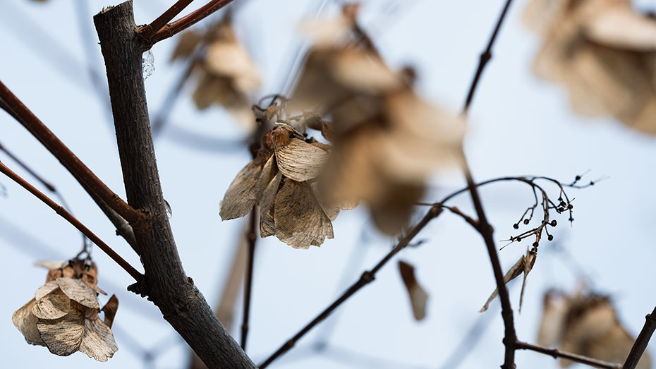 Maple tree seeds dried up on a tree in the middle of winter